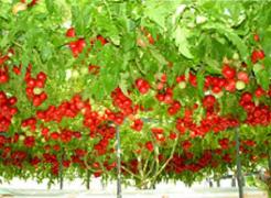 ハイポニカトマトのイメージ